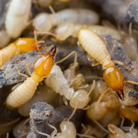 Termites are on the increase in Melbourne